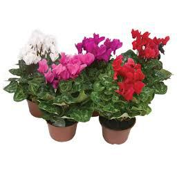 Mini Vaso Flor Cyclamen SOB ENCOMENDA
