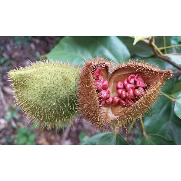 Urucum (coloral)