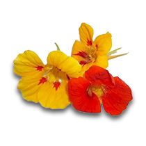 Capuchinha (Flores)
