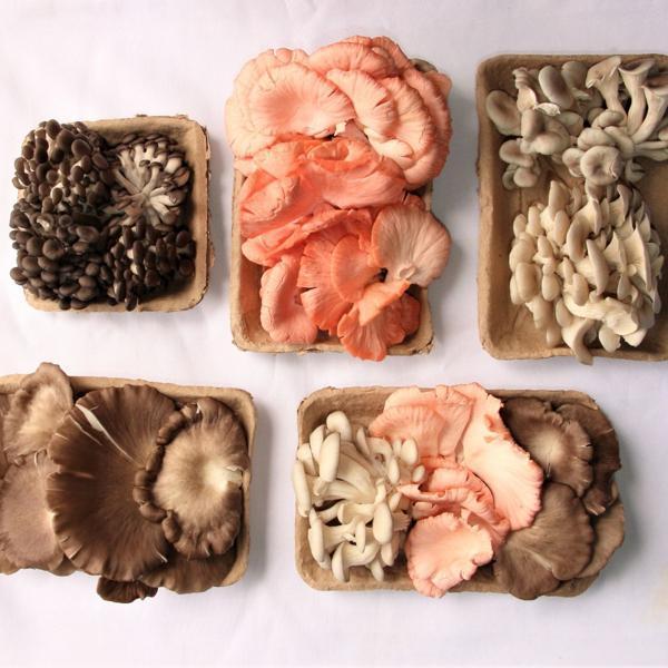 Cogumelo Shitake Orgânico 200g - DoCaminhante