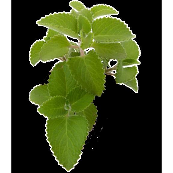 Hortelã Grosso Orgânico (maço)