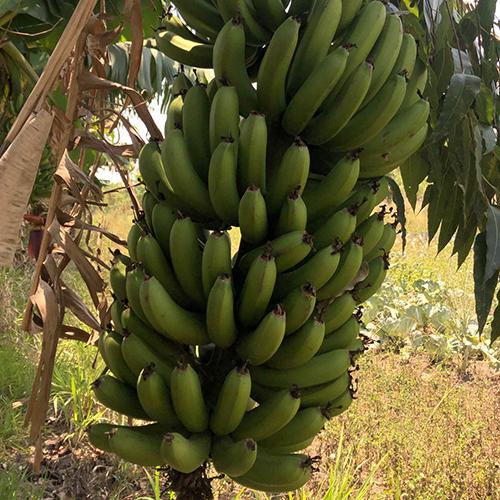 "Banana Prata ""Verde"""