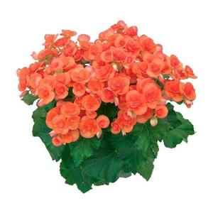 Planta Begonia Pt 11
