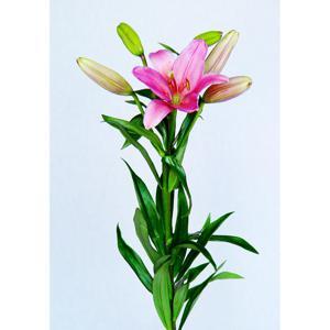 Planta Lirium Hastes Pt 14