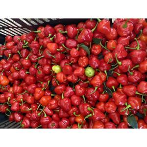 Pimenta habanera orgânica (50g)