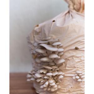 Sacoíno Shimeji Branco de 1,6kg a 2,5kg de cogumelo orgânico - DoCaminhante