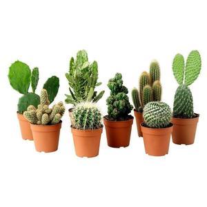 Planta Cactus Mini Pt 06
