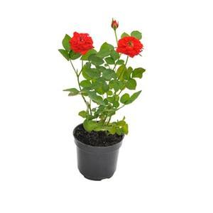 Planta Roseira Mini Pt 13