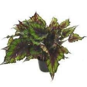 Planta Begonia Pt 14