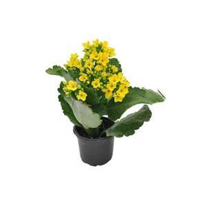 Planta Kalanchoe Mini Pt 06