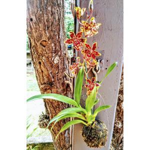Orquídea Bolinha