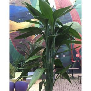 Bambu da sorte (un) - Agroflora Verde