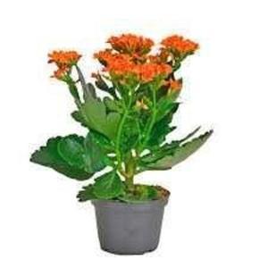 Planta Kalanchoe Pt 11