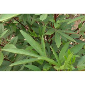 Vinagreira ( maço) orgânico