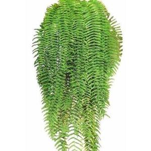 Planta Samambaia Americana Xaxim