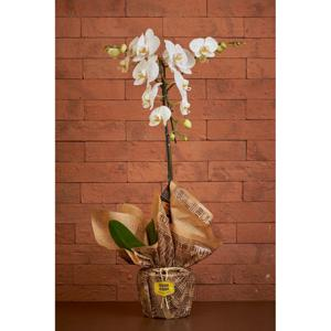 Orquídea Phalaenopsis Cascata PT 15 Branca - Fazenda Alegria
