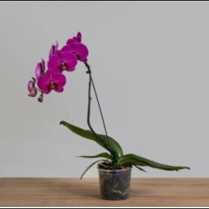 Orquídea Phalaenopsis Cascata PT 15 Rosa - Fazenda Alegria