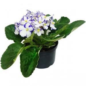 Planta Violeta Pt 11