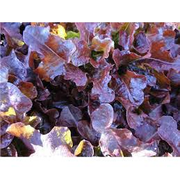 Alface Mimosa roxa ( maço) Orgânico