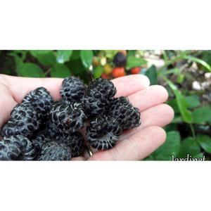 Framboesa negra ( 150g) Orgânica- 2 bandejas por cliente