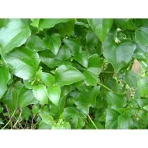 Erva Guaco ( maço) Orgânico