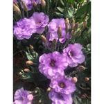 Buquê Lisianthus Lilás