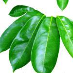Folhas de Graviola