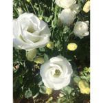 Buquê Lisianthus Branco